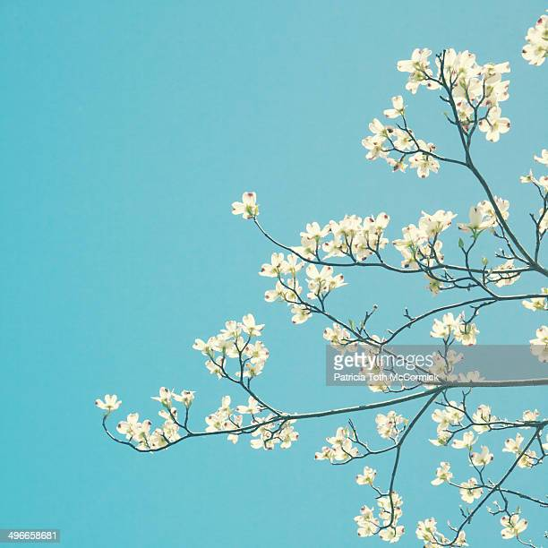 Dogwood Blossoms Against Sky