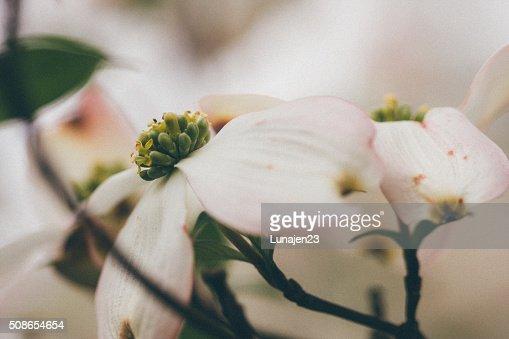 Dogwood Blossoms : Stock Photo