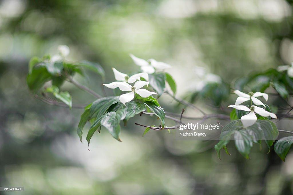 Dogwood tree : Stock Photo