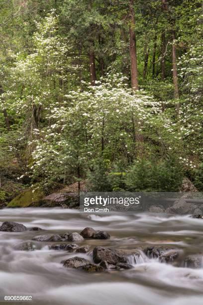 Dogwoods and Tanaya Creek