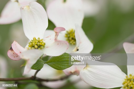 Dogwoods : Stock Photo