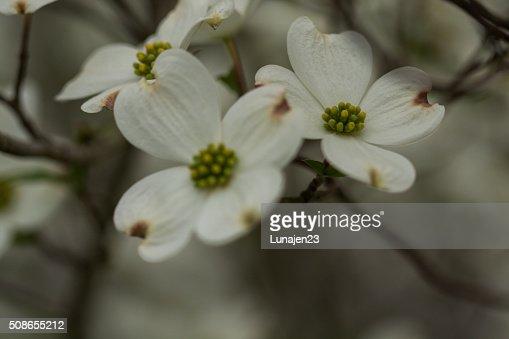 Dogwoods : Stock Photo