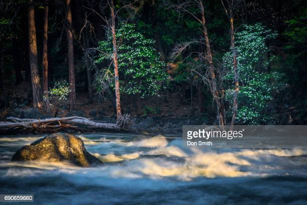 Dogwwod Trees and Merced River