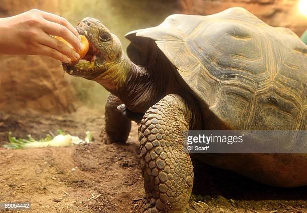 Dolly a 16 year old Galapagos tortoise is fed by keeper Caroline Westlake in the new 'Giant of the Galapagos' exhibit in ZSL London Zoo on July 16...