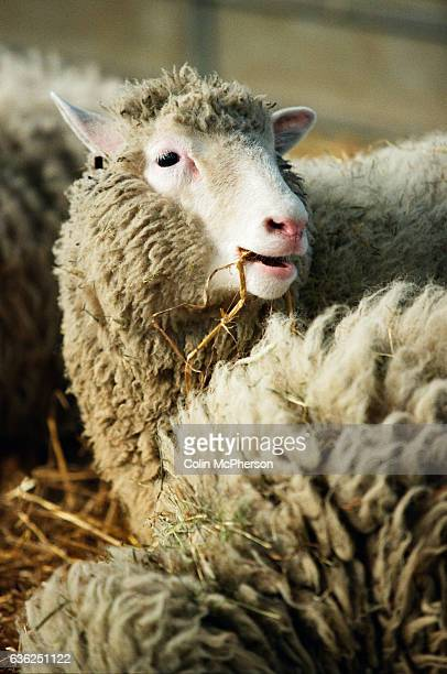 Dolly the first genetically copied sheep is unveiled to the media at the Roslin institute near Edinburgh United Kingdom Dolly was a female domestic...