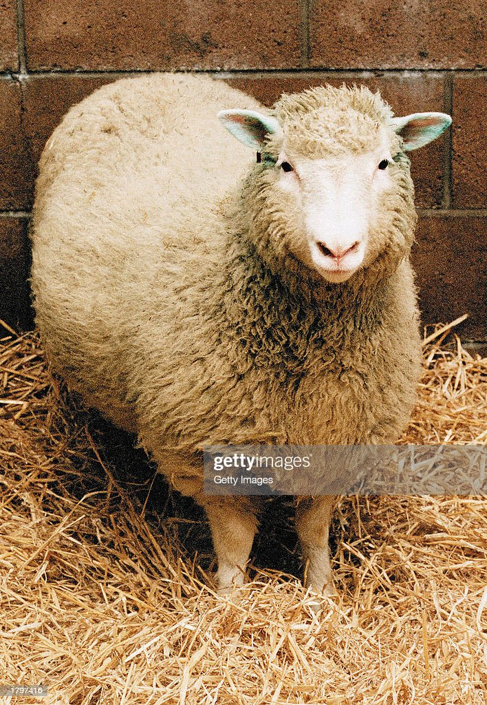 Dolly the Sheep the world's first cloned mammal is shown in this undated photo Veterinarians gave Dolly a lethal injection February 14 2003 at...