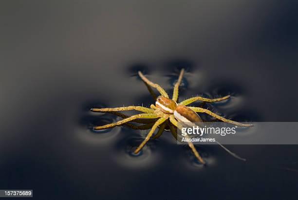 Dolomedes fimbriatus (Raft Spider)