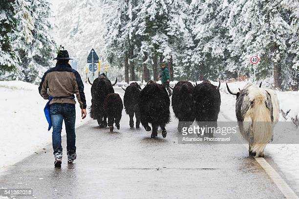 Dolomites - Anterselva Valley, Transhumance