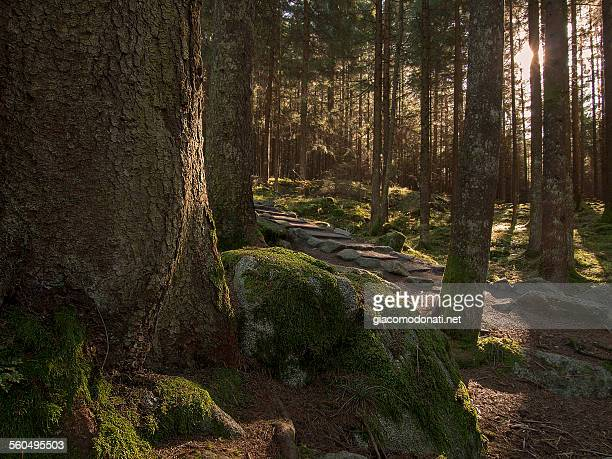 Dolomites forest