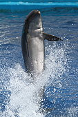 Dolphin balancing on tail