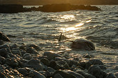 dead dolphin lies on the rocky shore at sunset