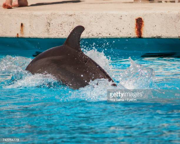 Dolphin Diving In Swimming Pool