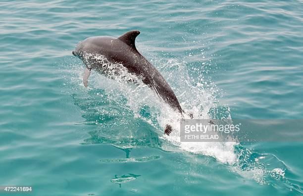 A dolphin follows a fishing boat in the sea bordering Tunisia and Libya on May 5 2015 off the coast of Tunisia's southeast port of Zarzis AFP...