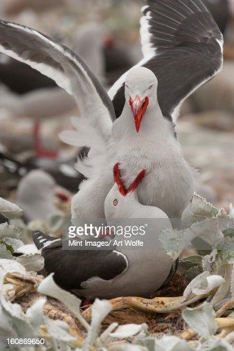Dolphin gulls, Falkland Islands : Stock Photo