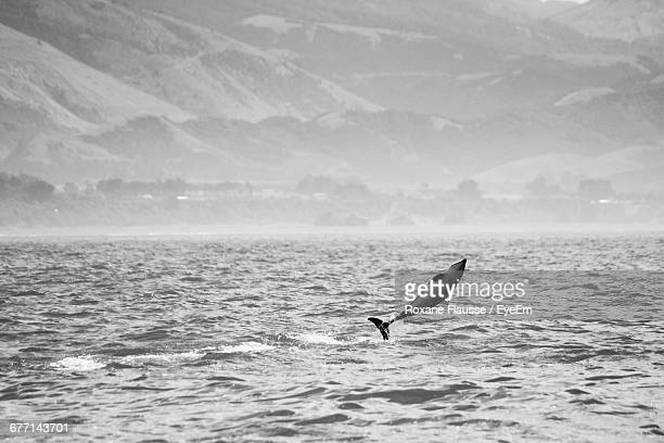Dolphin Jumping In Sea Against Mountains