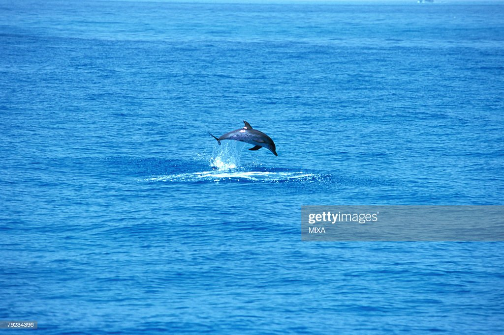 A dolphin jumping out of surface of the ocean : Stock Photo