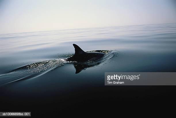 Dolphin, Mediterranean Sea, Spain