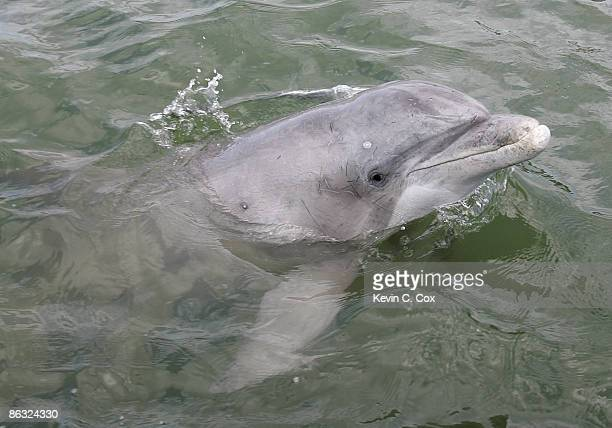A dolphin peers at the media boat during the 2006 Verizon Heritage fishing ProAm Tuesday April 11 in Calibogue Sound in Hilton Head Island South...