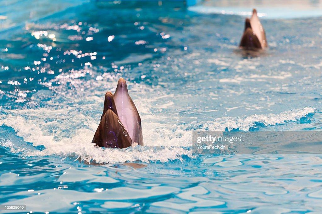 Dolphin : Foto de stock