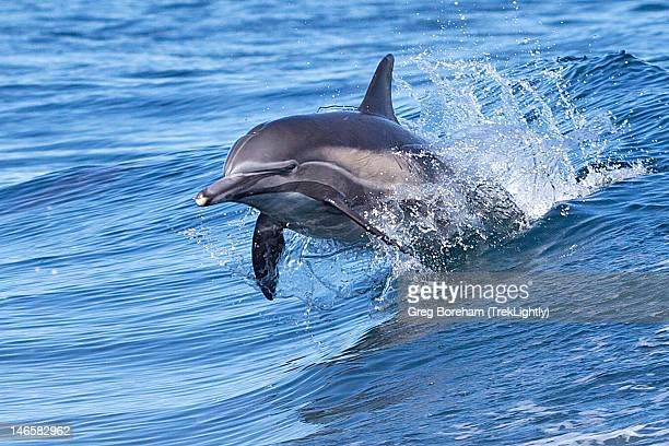 Dolphin riding wake