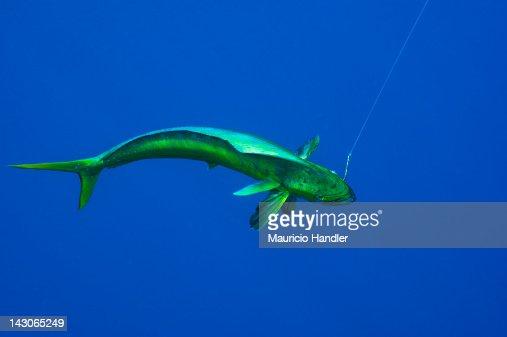 A dolphinfish, aka mahi mahi, is hooked.