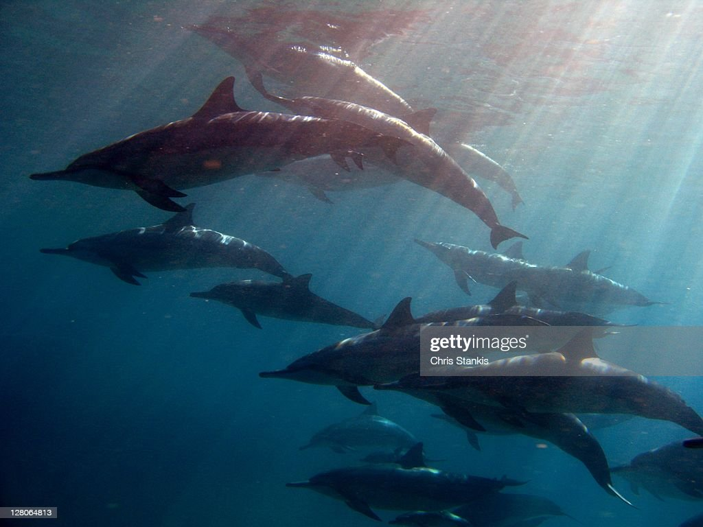 Dolphins at playing offshore