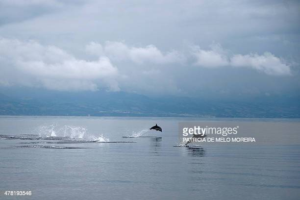 Dolphins break the surface of the Atlantic Ocean off the coast of Sao Miguel island in the Azores on June 2 2015 With its lush vegetation lakes...