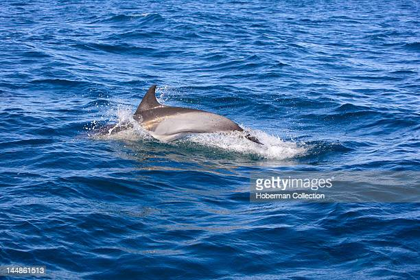Dolphins Cape Coast South Africa