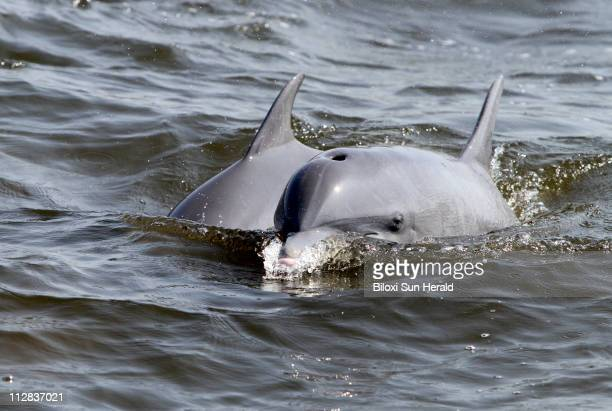 Dolphins follow Department of Marine Resources' fishing nets as the agency monitors the current size of shrimp in the Mississippi Sound Monday May 24...