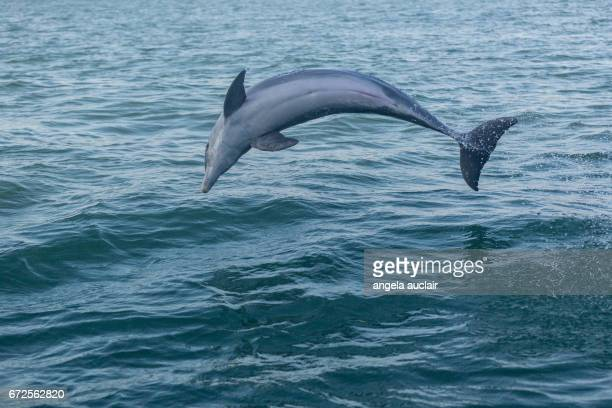 Dolphins in Ocean at Captiva, Florida