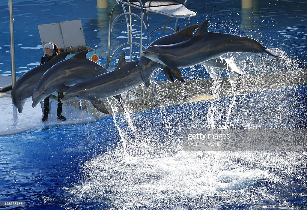 Dolphins jump at the Marineland animal exhibition park on December 19, 2012 in Antibes, southeastern France.