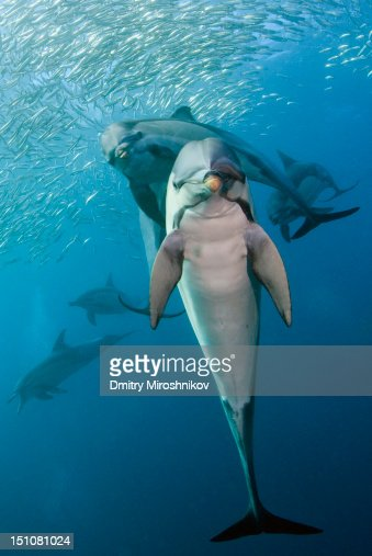 Dolphins : Stock Photo