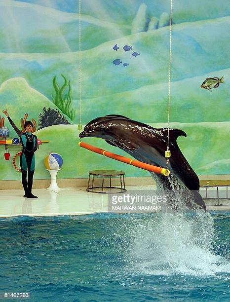 Dolphins show their skills during a show at the Dolphinarium in the Dubai Creek Park on June 6 2008 AFP PHOTO/MARWAN NAAMANI