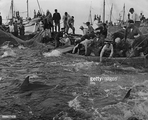 Dolphins trapped in a fishing net in Shizuoka Prefecture Japan circa 1950