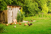 Domestic animals in beautiful green farmyard. Poultry, cat and dog eating together by the wooden shed on green lawn. Horizontal image