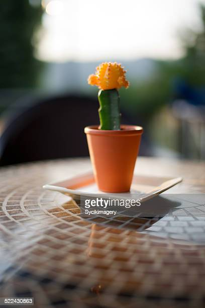 Domestic cactus plant on table