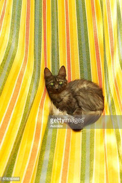 Domestic cat Felis catus longhaired kitten resting in hammock