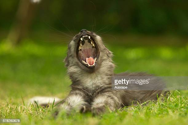 Domestic cat Felis catus on lawn yawning