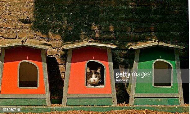 Domestic cat Felis catus resting in outdoor kennel