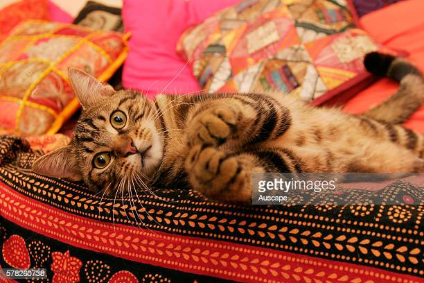 Domestic cat Felis catus resting on colourful cushions