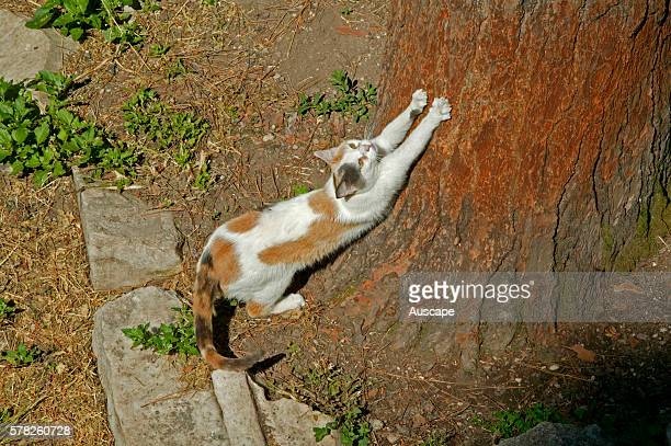 Domestic cat Felis catus sharpening claws on tree trunk