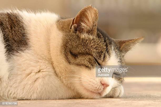Domestic cat Felis catus sleeping
