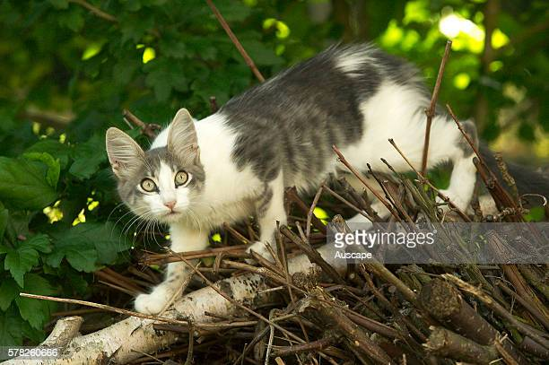 Domestic cat Felis catus walking along branch