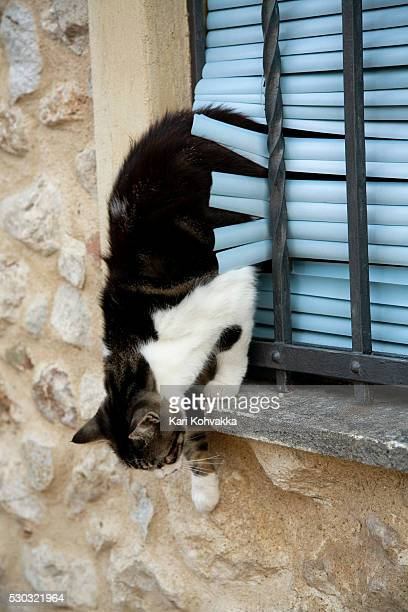 Domestic cat jumping from window