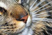 Domestic cat muzzle, close up. Maine Coon cat.