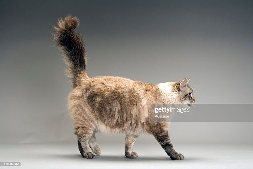 Domestic cat of mixed breed Felis catus walking with bushy tail erect studio photograph