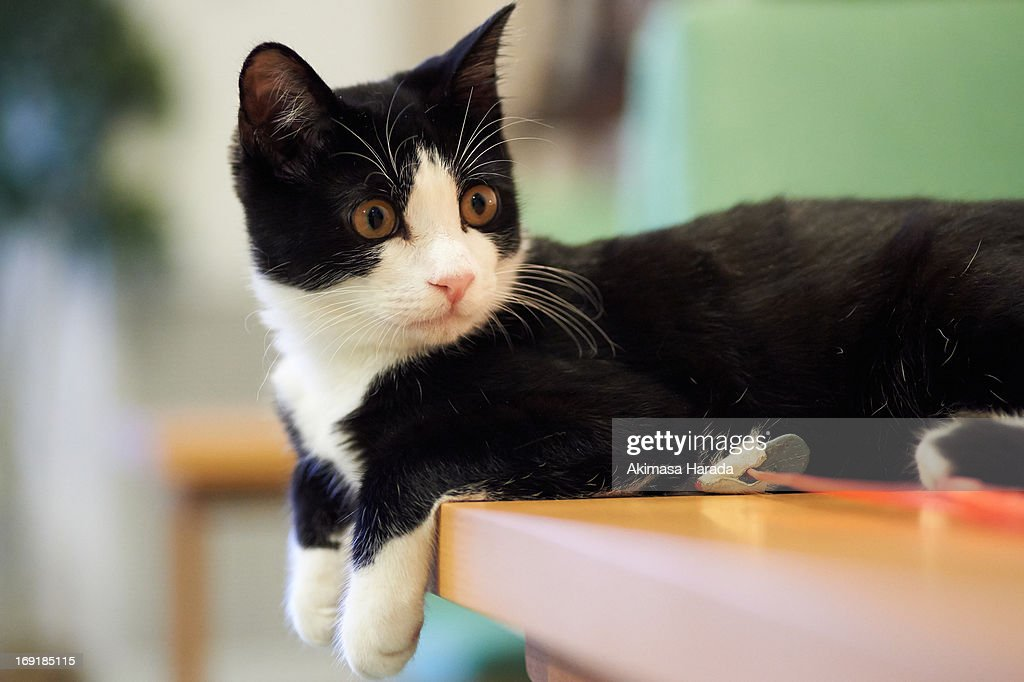 domestic cat on the table : Stock Photo