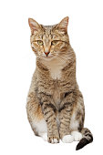 Domestic cat sits and looks straight ahead, isolated on white.