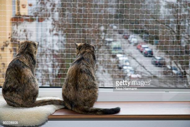 Domestic cats on window sill, rear view