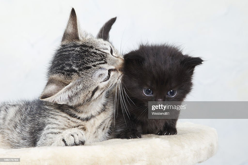 Two kittens on cat tree : Stock Photo